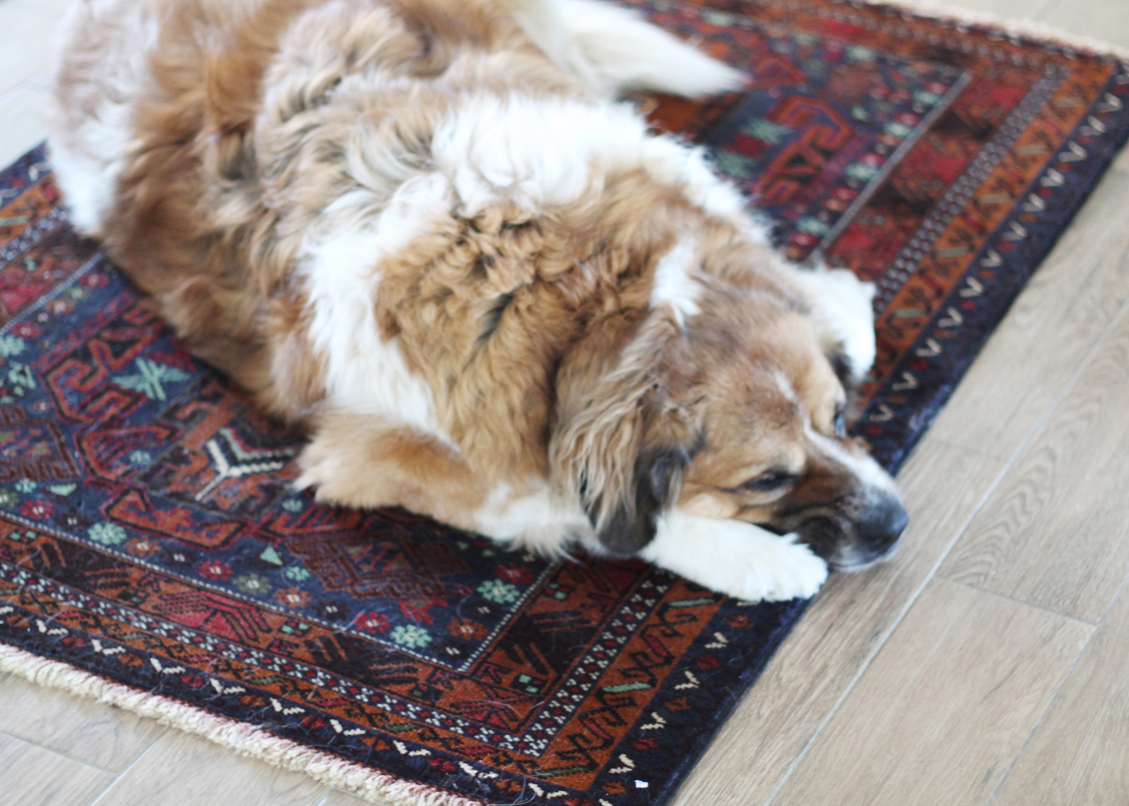 com smart dog rugs best brown gone for rug doormat medium video dogs chewy main ac dirty dp
